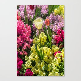 White tulip surrounded by colourful flowers Canvas Print