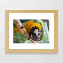 KC - Blue and Gold Macaw Framed Art Print
