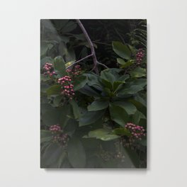 Ardisia elliptica, Rarotonga, Cook Islands Metal Print