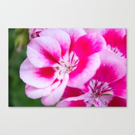 Magenta Painted Blooms Canvas Print
