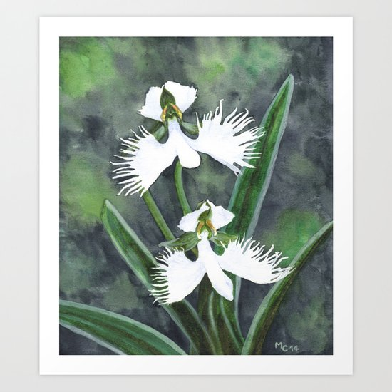 Habenaria radiata orchids Art Print