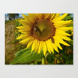 Sunflower Close up  Canvas Print