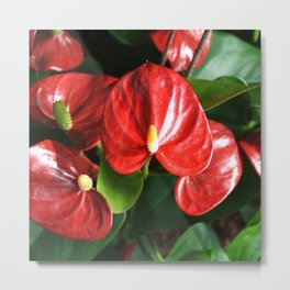 Red Flowers Anthurium Genus Metal Print
