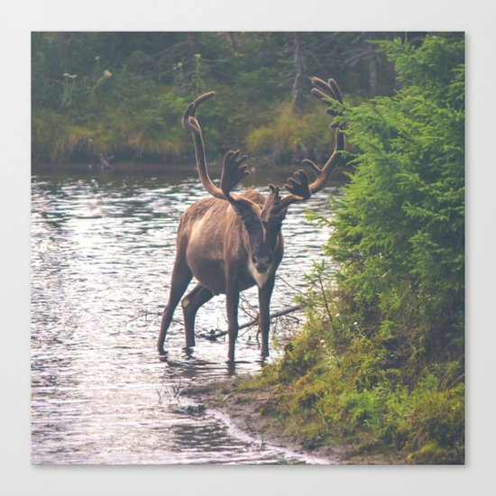 Moose in the River (Forest Wildlife) Canvas Print