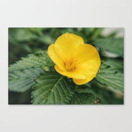 Yellow Beauty Canvas Print