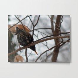 Starling from below Metal Print