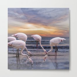 Flamingos feeding Metal Print