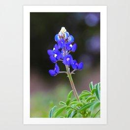 Texas Bluebonnet in bloom Art Print