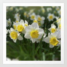white narcissus VI Art Print