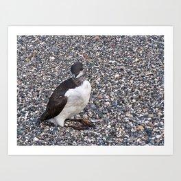 Razorbill Walking on the Beach Art Print