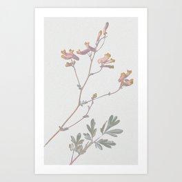 Corydalis sempervirens Art Print