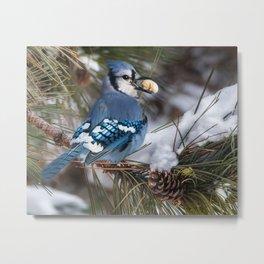 Christmas Blue Jay Metal Print