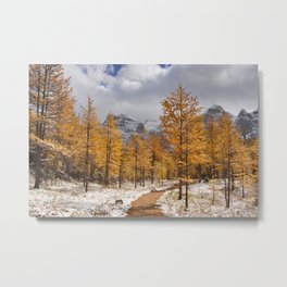 II - Larch trees in fall after first snow, Banff NP, Canada Metal Print