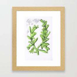 Mesembryanthemum Cryptanthum Framed Art Print