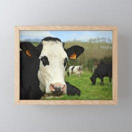 Cow facing camera Framed Mini Art Print