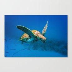 Bajan Turtle 2 Canvas Print