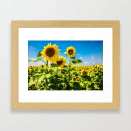Three's Company - Trio of Sunflowers in Kansas Framed Art Print