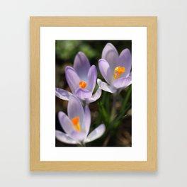 Crocus flowers Framed Art Print