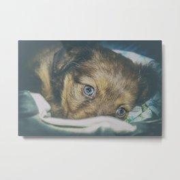 Brown puppy with blue eyes Metal Print