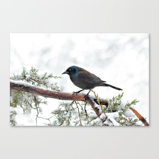 Snow Grackle Canvas Print