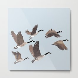 Flock of Canada geese Metal Print