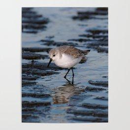A Strolling Sanderling Poster
