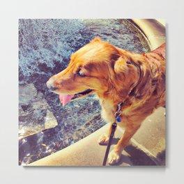 Beautiful dog golden retriever on the swimming pool Metal Print