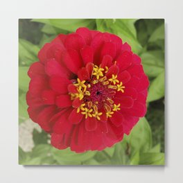 Red, RED Zinnia Metal Print