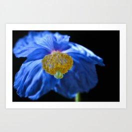 Blue Himalayan Poppy Flower Art Print