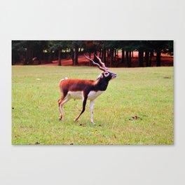 Male Blackbuck Canvas Print