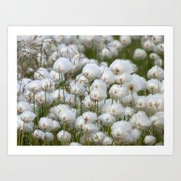 Cotton grass Art Print
