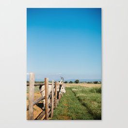 Horny cow behind wooden fence  Canvas Print