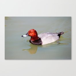 Canvasback Canvas Print