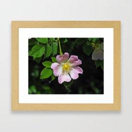 Dog Rose (Rosa canina) Framed Art Print