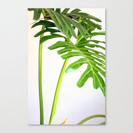 soft tropical fresh green white foliage plant Canvas Print