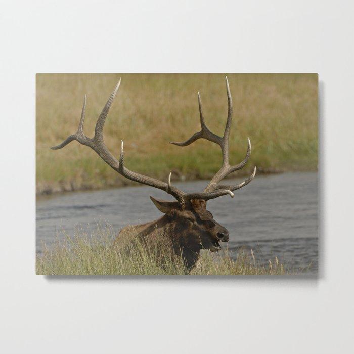 Bull elk with very large antlers Metal Print