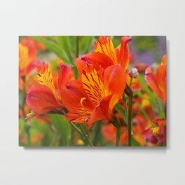 Alstroemeria 'Orange Glory' 1 Metal Print
