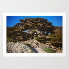 Ancient Wisdom, the California Monterey Cypress Tree Art Print
