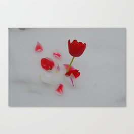 Vibrant Red Tulips In White Snow Canvas Print