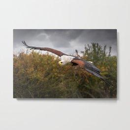 Eagle in Flight Metal Print