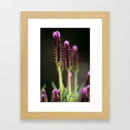 lavendula - IV Framed Art Print
