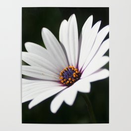 Daisy flower blooming close-up Poster