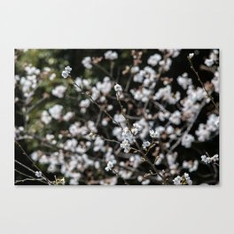 cherry buds and blossom Canvas Print