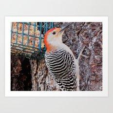 woodpecker close-up Art Print