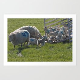 Lambs being put out to pasture in the spring Art Print