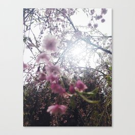 backlit sakura Canvas Print