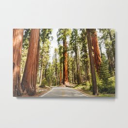 sequoia tree Metal Print