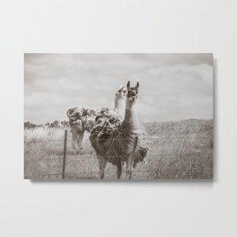 Llamas, North Dakota 3 Metal Print