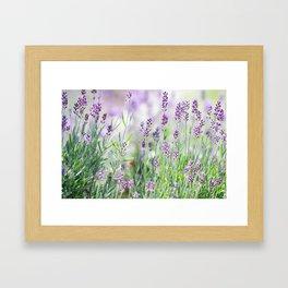 Lavender in summer garden Framed Art Print