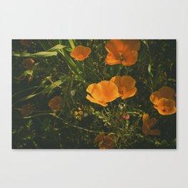 California Poppies 011 Canvas Print